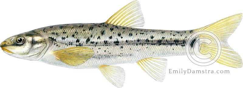 Speckled dace illustration Rhinichthys osculus