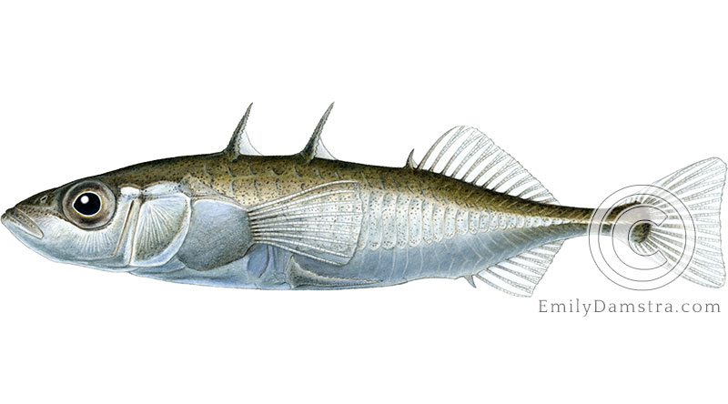 Threespine stickleback Gasterosteus aculeatus illustration