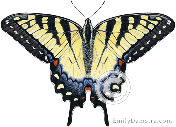 Tiger swallowtail illustration Papilio glaucas female