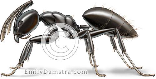 White footed ant illustration Technomyrmex albipes