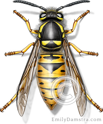 Eastern yellow jacket illustration Vespula maculifrons